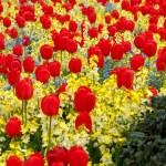 Beautiful Tulips Field — Stock Photo #34475685