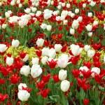 Beautiful Tulips Field — Stock Photo #34475737