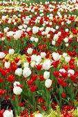 Beautiful Tulips Field — Stock Photo