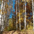 Birches in autumn — Stock Photo #35070439