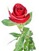 Single beautiful red rose isolated on white background — Stok fotoğraf