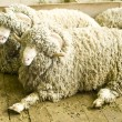 Arles Merino ram — Stock Photo #34561199