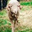 Arles Merino ram — Stock Photo #34561681