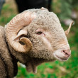 Arles Merino ram — Stock Photo #34561701