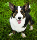 Welsh corgi cardigan dog — Stock Photo