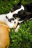Playing dogs — Stockfoto