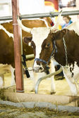 Cow in a stable — Stock Photo