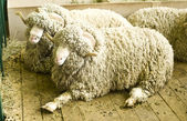 Arles Merino ram — Stock Photo