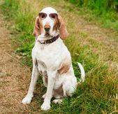 ・ ブラッコ イタリアーノ犬のサングラス — ストック写真