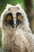 Young owl — Stock Photo