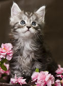 Maine Coon kitten with flowers — Stockfoto