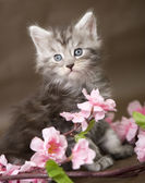 Maine Coon kitten with flowers — Stock Photo