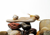 Snails on rocks — Stock Photo