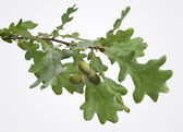 Oak branch — Stock Photo