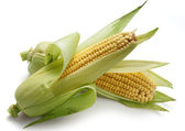 Two corncobs — Stock Photo
