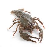 Alive crawfish — Stok fotoğraf
