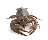 Alive crawfish — Stockfoto