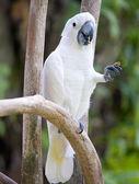 White parrot — Zdjęcie stockowe