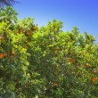 Savello park on Palatine hill. Rome. Italy. Orange trees — Stock Photo #14340601