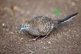 Gray bird. Tahiti — Stock Photo