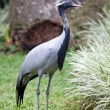 Southern Crowned Grey Crane — Stock Photo #17888325