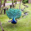 Peacock — Stock Photo #17888329