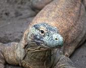 Huge monitor lizard — Stock Photo