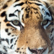 Tiger.Close up in a sunny day — Foto de Stock