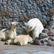 Stock Photo: White polar she-bear with bear cubs