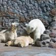 彼女はクマ カブスとホワイト シロクマ。 — ストック写真