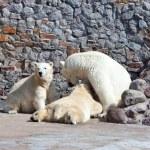 bianco polare Orsa con cuccioli di orso — Foto Stock