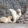 White polar she-bear with bear cubs — 图库照片