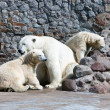 White polar she-bear with bear cubs — ストック写真