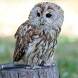 Sitting Barred owl — Stock Photo