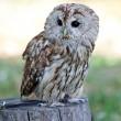 Sitting Barred owl — Stock Photo