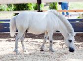 Cavallino bianco — Foto Stock