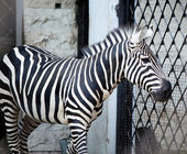 Zebra. Portrait in a sunny day — Stock Photo