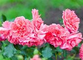Bush rose — Stock Photo