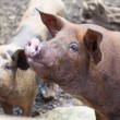 The big  pig - Stock Photo