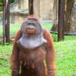 Big orangutan - Stock Photo