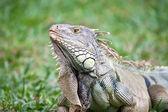 Büyük iguana — Stok fotoğraf