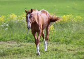 Horse on a meadow in a bright sunny day — Stock Photo