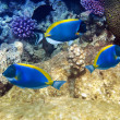 Foto Stock: Powder blue tang in corals