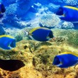 Powder blue tang in corals. Maldives. Indiocean — Stock Photo #25989051