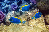 Powder blue tang in corals — Stock Photo
