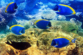 Powder blue tang in corals. Maldives. Indian ocean — Stock Photo