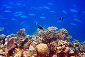 Big pack of tropical fishes over a coral reef — Stock Photo