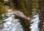 Crocodile — Stok fotoğraf