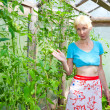 The young attractive woman in a hothouse rejoices to the future crop of tomatoes — Stock Photo