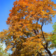 Autumn tree with bright foliage on a blue sky background — Foto de Stock